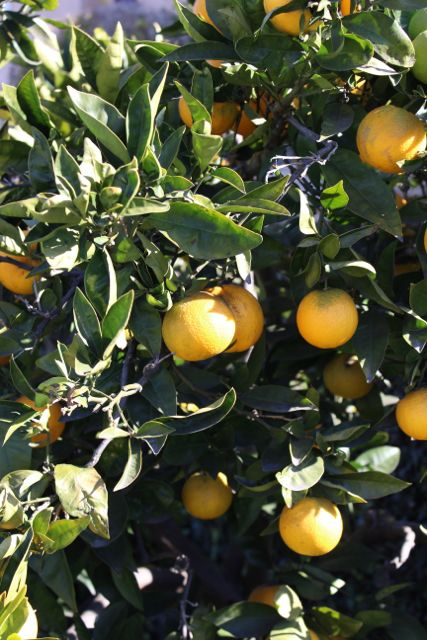 IMG_0501 appelsin tre