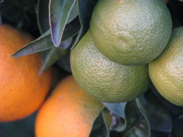 IMG_1292 moden og umoden appelsin