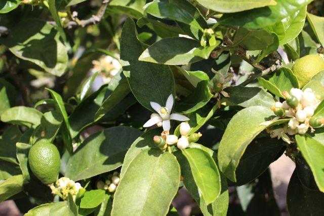 IMG_1331 appelsin blomst