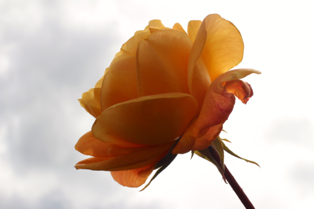 To untangle life enough to be aware of the single rose