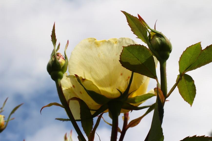 IMG_5859 rose