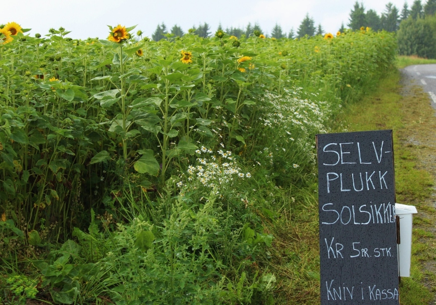 "Sunflowers to pick, the sign reads ""knife on the box"""