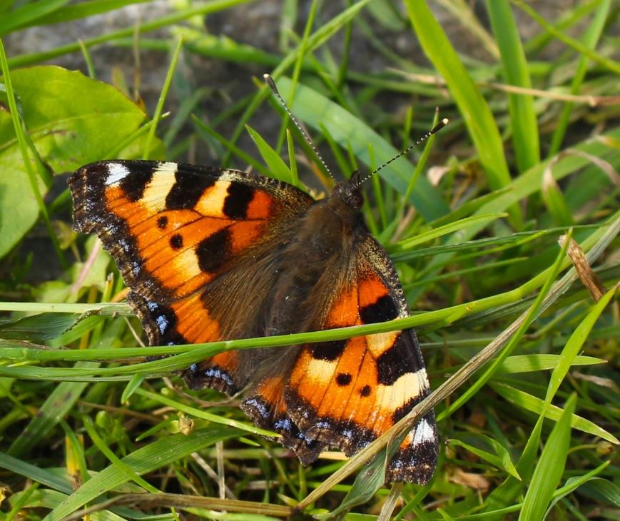 sommerfugl med gresstrå